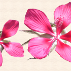 """View """"Cropped exotic hibiscus blooms"""""""